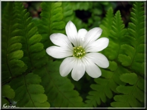 kwiat-paproci-i451943