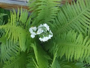 kwiat-paproci_5901308857911