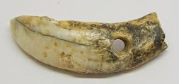 Viking age Boar tusk amulet 32.4 x 10.6 x 5.5mm