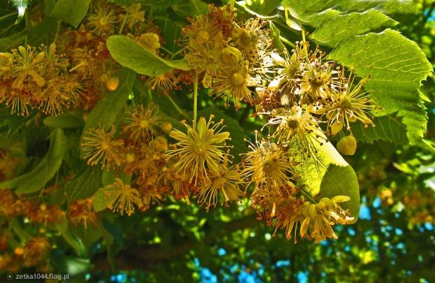5094959_w-parku-pachna-kwitnace-drzewa-lipy