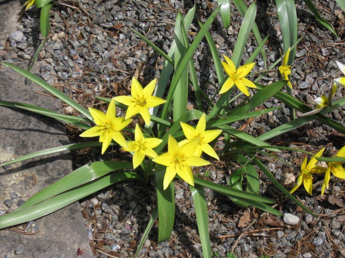 Perunowy Kwiat - opowiadanie